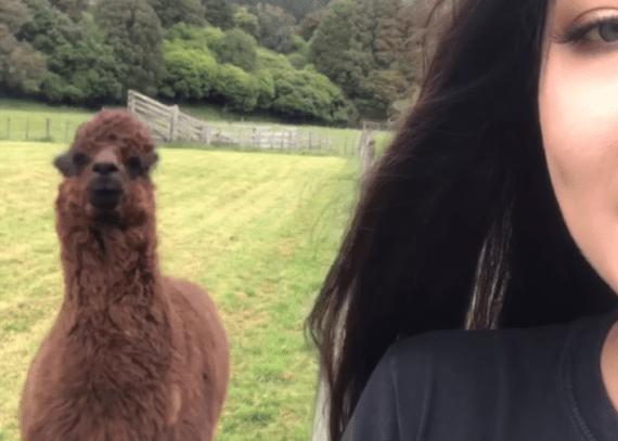 Pubers en alpaca's lijken op elkaar en kunnen het daarom zo goed samen vinden